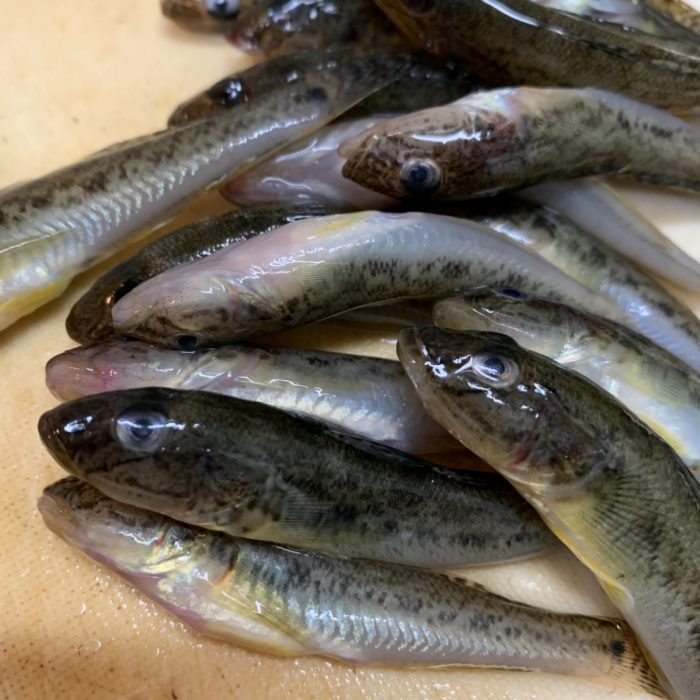 江戸川でハゼ釣り7